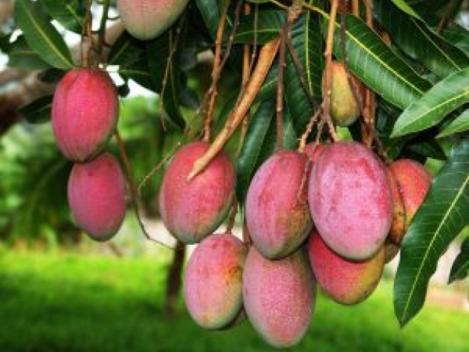 mango 5.png